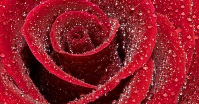 วิธีปลูกดอกไม้, วิธีปลูกดอกกุหลาบ