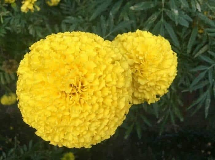 วิธีปลูกดอกดาวเรือง, วิธีปลูกดาวเรืองให้ดอกใหญ่