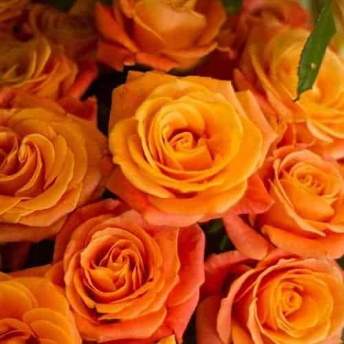 ความหมายจํานวนดอกกุหลาบ, ความหมายของจำนวนดอกกุหลาบ