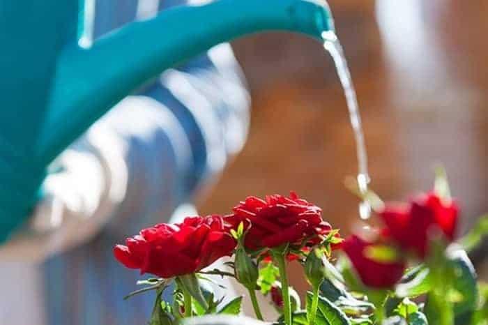 วิธีดูแลต้นกุหลาบ, วิธีปลูกกุหลาบให้ออกดอก