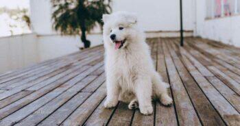 หมาพันธุ์ตัวเล็ก, พันธุ์หมาตัวเล็ก