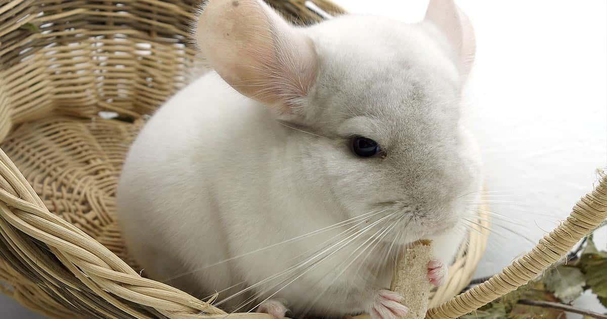ชินชิลล่า พันธุ์หางขาว สัตว์น้อยขนนุ่มน่าเลี้ยง ดูแลอย่างไร ซื้อได้ที่ไหนบ้าง ?