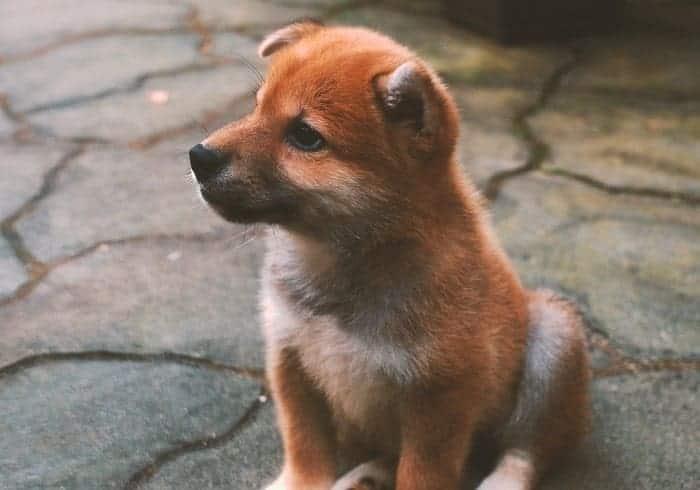 สุนัขชิบะ ราคา, ฟาร์มหมาชิบะ